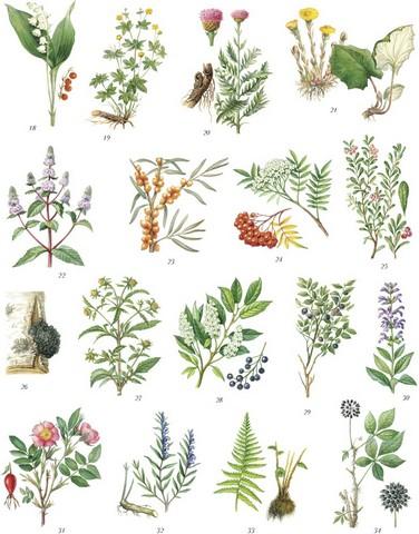 Лекарственные растения применяемые в педиатрии