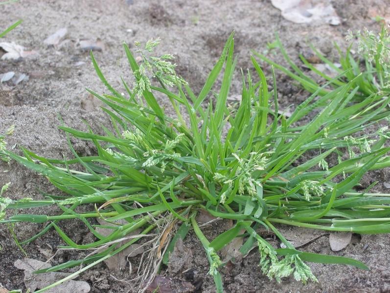 Трава пырей