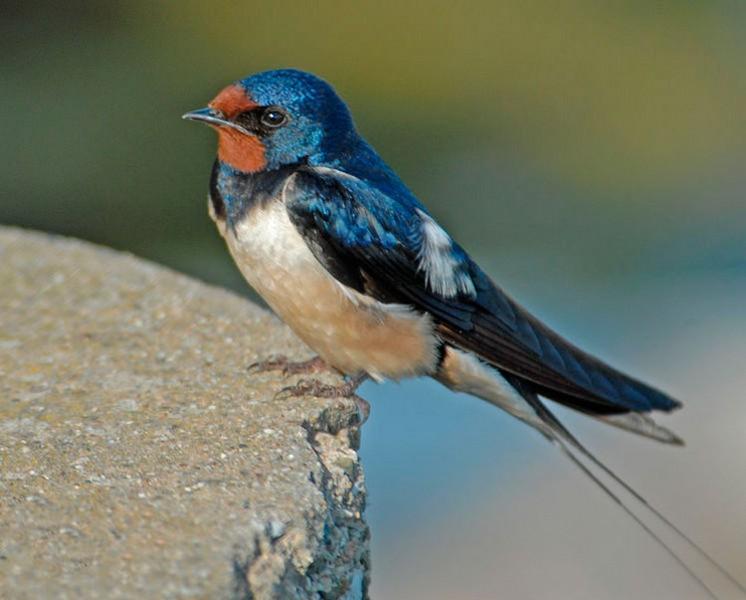 Птица ласточка