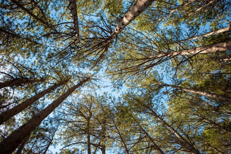 Высокорослые деревья